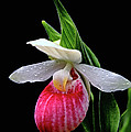 Showy Lady's Slipper by Bill Morgenstern