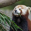 Shrinking Red Panda by Greg Nyquist