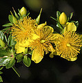 Shrubby St Johnswort Dsmf094 by Gerry Gantt