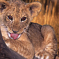 Shy African Lion Cub Wildlife Rescue by Dave Welling