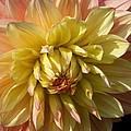 Shy Dahlia Beauty by Christiane Schulze Art And Photography