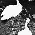 Shy Swans by Kathy Barney