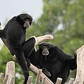 Siamang Monkeys by Dan Sproul