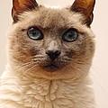 Siamese Cat by Richard Cheski