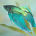 Siamese Fighting Fish by IM Spadecaller