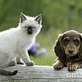 Siamese Kitten And Dachshund Puppy by Rolf Kopfle