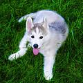 Siberian Huskie by Bill Cannon
