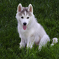 Siberian Huskie Pup by Bill Cannon
