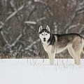 Siberian Husky 20 by David Dunham
