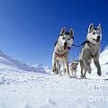 Siberian Husky Dogs by Rolf Kopfle