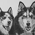 Siberian Husky Dogs Sketched In Charcoal by Kate Sumners