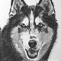 Siberian Husky Drawing by Kate Sumners