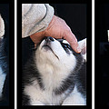 Siberian Husky Puppies Mans Best Friend by Kathy Clark