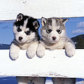 Siberian Husky Puppies by Rolf Kopfle