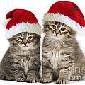 Siberian Kittens In Hats by Jean-Michel Labat