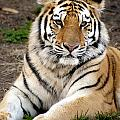 Siberian Tiger by Anthony Totah