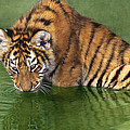 Siberian Tiger Cub In Pond Endangered Species Wildlife Rescue by Dave Welling