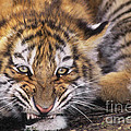 Siberian Tiger Cub Panthera Tigris Altaicia Wildlife Rescue by Dave Welling