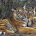 Siberian Tiger Cubs Endangered Species Wildlife Rescue by Dave Welling