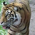 Siberian Tiger by Lingfai Leung