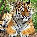 Siberian Tiger by Marilyn Burton