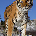 Siberian Tiger No. 1 by Jerry Fornarotto