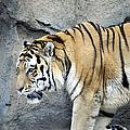 Siberian Tiger Panthera Tigris Altaica Usa by Sally Rockefeller