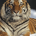 Siberian Tiger Portrait In Snow China by Konrad Wothe