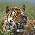 Siberian Tiger Portrait by Tim Fitzharris