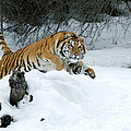 Siberian Tiger by Sandra Bronstein