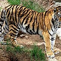 Siberian Tiger - Standing by Marilyn Burton