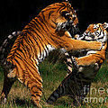 Siberian Tigers In Fight by Nick  Biemans