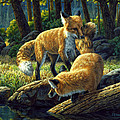 Red Foxes - Sibling Rivalry by Crista Forest