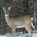 Side Of The Road Deer by Cheryl Baxter
