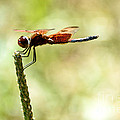 Side View Of A Calico Pennant by Cheryl Baxter