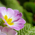 Side View Of A Spring Pansy by Jeff Swan