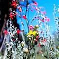 Sierra Wild Flowers II by Mayhem Mediums