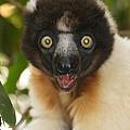 sifaka from Madagascar 8 by Rudi Prott