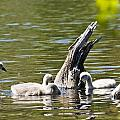 Signets by Dennis Coates