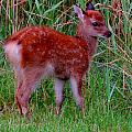 Sika Fawn 1 by Stephanie Kendall