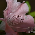 Silent Pink Photo D by Barb Dalton