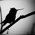 Silhouette Humming Bird by Blake Richards