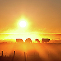 Silhouette Of Cattle Walking Across The by Imaginegolf