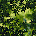 Silhouette Of Japanese Maple Leaves by Todd Gipstein