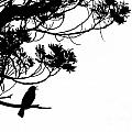 Silhouette Of Singing Common Blackbird In A Tree by Stephan Pietzko