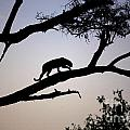 Silhouetted Leopard by Deborah Benbrook