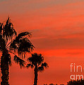 Silhouetted Palm Trees by Robert Bales