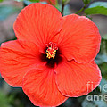 Silky Red Hibiscus Flower by Connie Fox