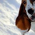 Silly Basset Hound  by Marysue Ryan