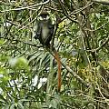 Silly Red-tailed Monkey by Brian Kamprath